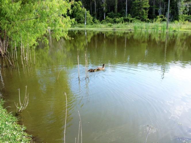 home pond (2)